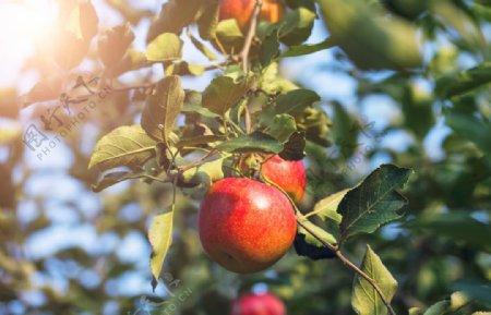 阳光下的苹果树图片