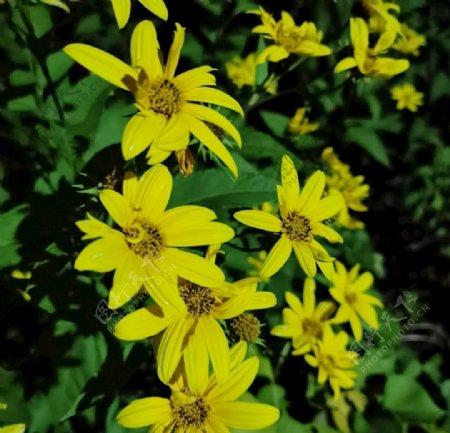 黄花花朵鲜花图片