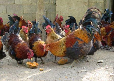土鸡阉鸡图片