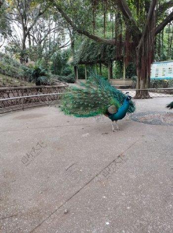 动物园蓝孔雀图片