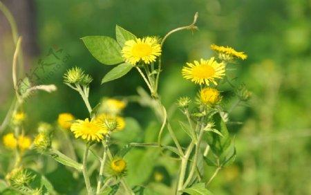 野生花卉野菊花图片