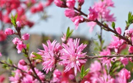 园林花灌木菊花碧桃图片