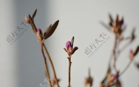 紫色干枝杜鹃花苞图片