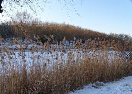 冬天芦苇图片